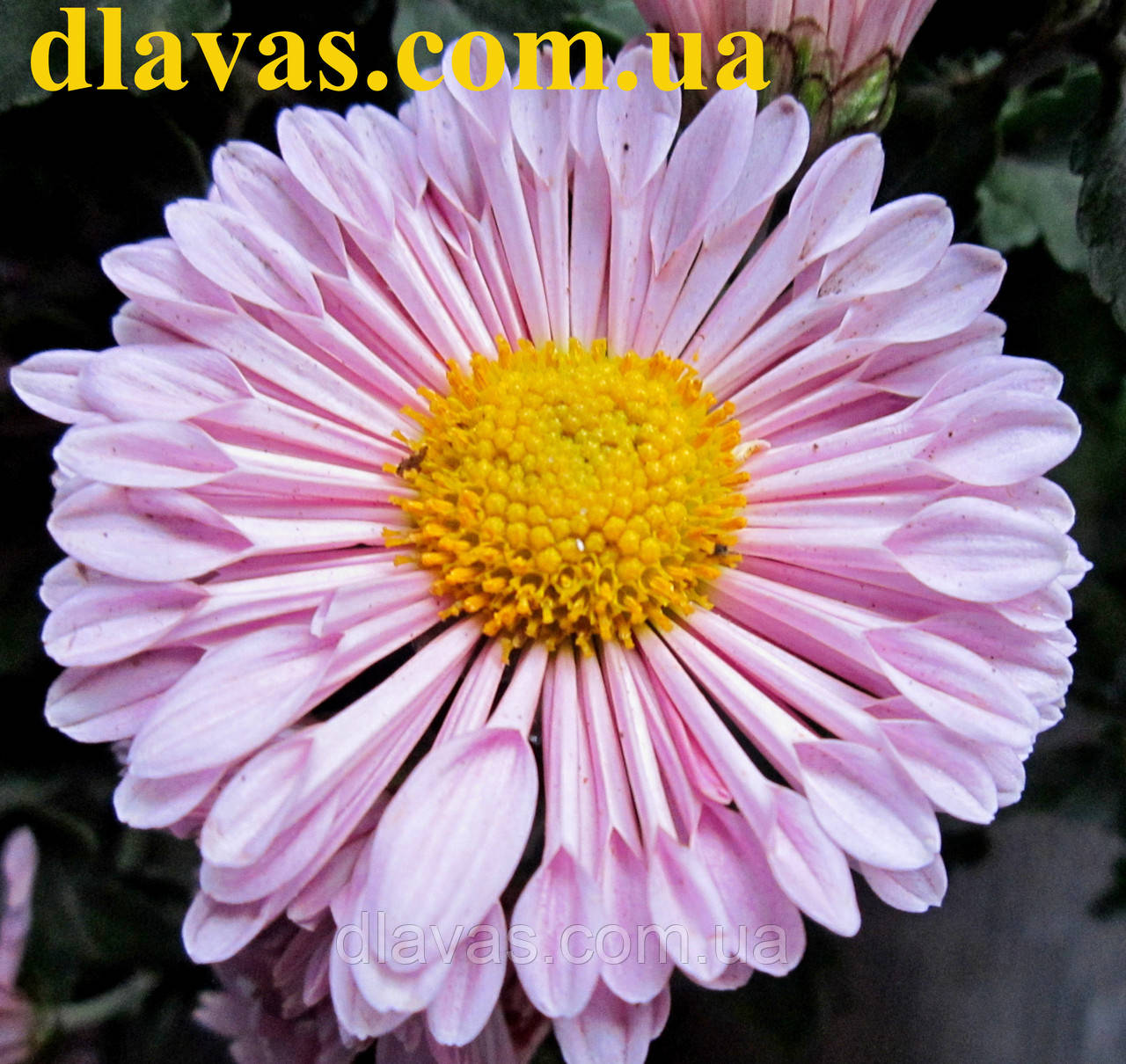 Хризантема низкорослая Барби