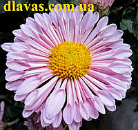Хризантема низкорослая Барби, фото 1