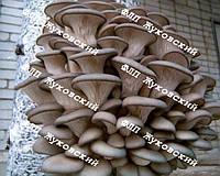 Купить мицелий вешенки в Украине оптом