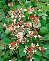 Семена Фасоль декоративная 10 шт