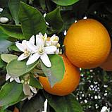 Апельсиновое масло эфирное, фото 2