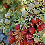 Масло можжевельника ягоды, фото 2