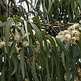 Эфирное масло эвкалипта, фото 3