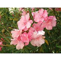 Масло Розовое дерево эфирное