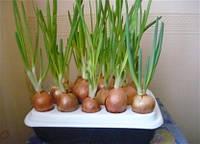 Установка для выращивания зеленого лука «Чудорост»