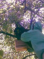 Вероника снимает пчелиный рой с яблони.