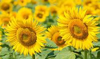 Семена подсолнечника Аурис (стандарт) (105 - 108 дн.) толерантный к гранстару -ВНИС