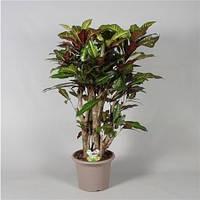 Крупномеры Codiaeum Excellent Branched In Deco, 30, Кротон, 110