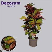 Крупномеры Codiaeum Mrs Iceton Branched In Deco Pot, 30, Кротон, 110