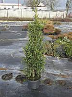 Ель обыкновенная - Picea abies Cupressina (высота 150-180 см, горшок 20/30л)