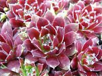 Молодило (каменная роза) зелено-бордовая