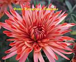 Хризантема РАННЄ ДЕКО, фото 2