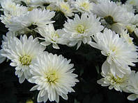 Хризантема высокая  беломолочная