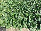 Семена пекинской капусты Билко F1 / Bilko F1 10 000 семян, фото 5