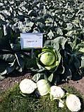 Семена капусты Золтан F1 / Zoltan F1, 2500 семян, фото 3
