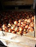 Семена лука ИСПАНЬОЛ, 0, 5 кг, фото 3