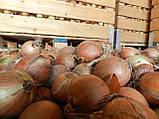 Семена лука ИСПАНЬОЛ, 0, 5 кг, фото 4