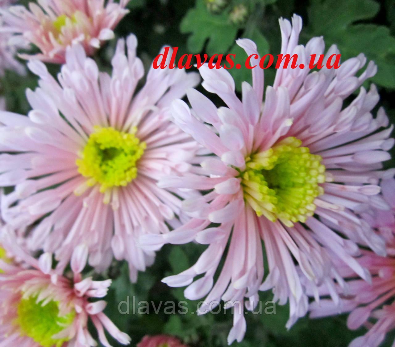 Хризантема корейская Розовые Щёчки