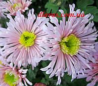 Хризантема корейская Розовые Щёчки, фото 1