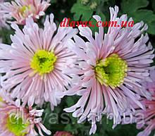 Хризантема корейська Рожеві Щічки