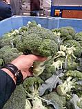Насіння броколі КОРОС F1, 1000 насіння New!, фото 5