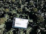 Насіння броколі КОРОС F1, 1000 насіння New!, фото 8