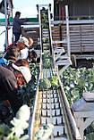 Насіння броколі КОРОС F1, 1000 насіння New!, фото 7