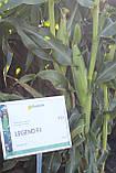 Семена кукурузы сахарной ЛЕЖЕНД F1, 1 кг., фото 5