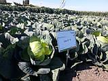 Семена капусты Лион F1 / Lion F1, 2500 семена калиброванные, фото 2