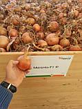 Семена лука Меранто F1 / Мeranto F1, 250 тыс.семян, фото 2