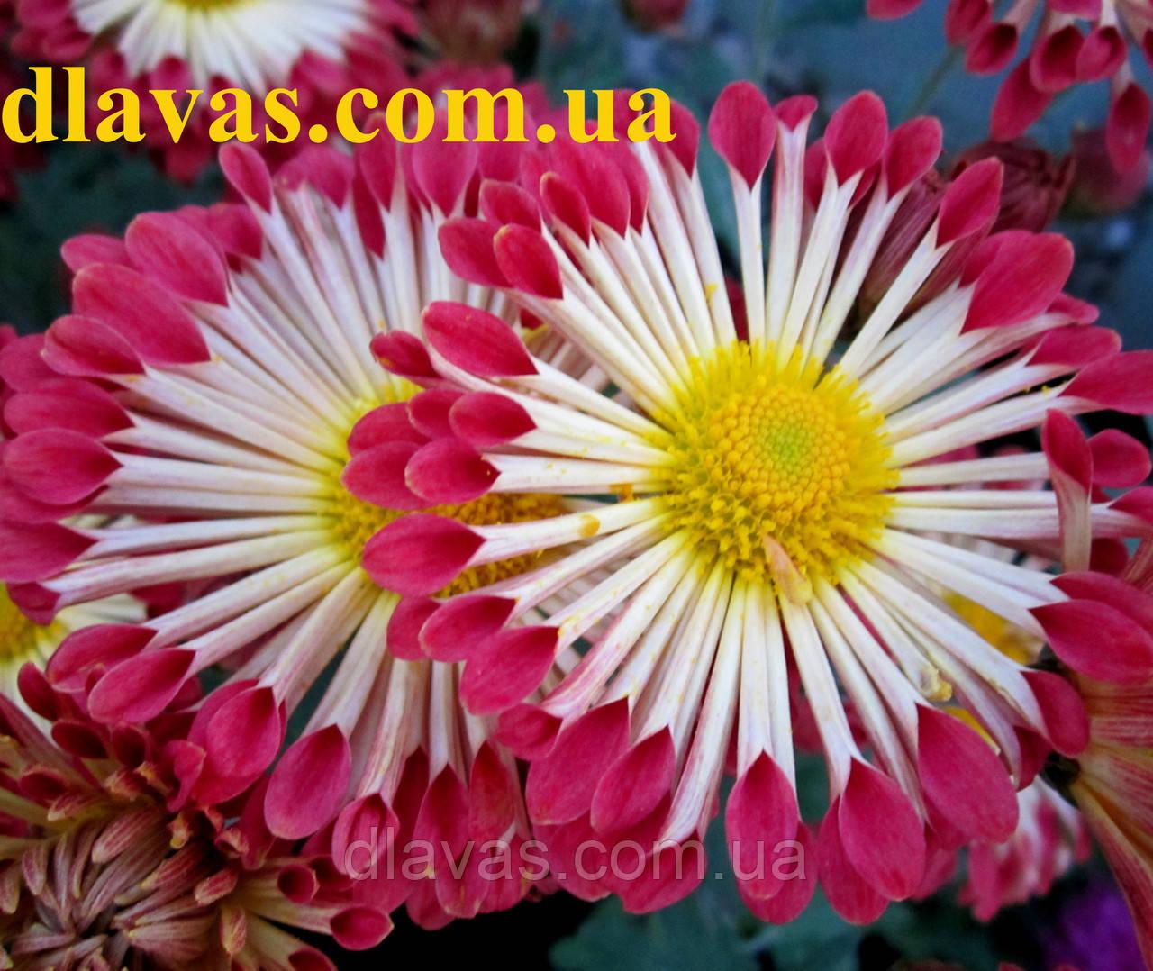 Иголка нет цветы