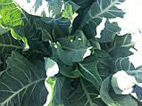 Семена цветной капусты САБОРД F1, 2500 семян New!, фото 4