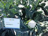 Семена цветной капусты САБОРД F1, 2500 семян New!, фото 5