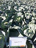 Семена капусты Сати F1 / Satie F1, 2500 семян, фото 3