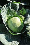 Насіння капусти СІР F1, 1000 насіння (Elisem), фото 3