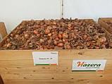 Семена лука Тареско F1 / Тaresko F1, 250 тыс.семян, фото 2