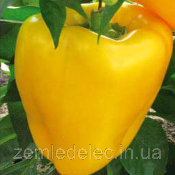 Семена перца сладкого Кунео еллоу 10 гр. Коуел (Хортус)