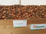 Семена лука Франциско F1 / Francisko F1 .250 тыс.семян, фото 2