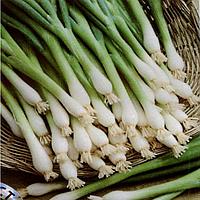 Семена лука на перо Грин Лайн 10000 сем.  Agri Saaten