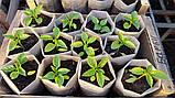 Семена перца Барби F1, 500 семян, фото 3