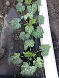 Семена кабачка ДОНИЯ F1, 2500 семян New!, фото 5