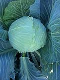 Насіння капусти Джинтама (Gintama RZ) F1 90-110 дн., 2500 насінин, фото 3
