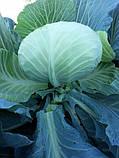 Насіння капусти Джинтама (Gintama RZ) F1 90-110 дн., 2500 насінин, фото 4