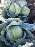 Семена капусты Сторидор F1, 2500 семян, фото 7