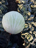 Семена капусты Лагрима (lagrima RZ) F1 125-140 дн., 1000 семян, фото 3