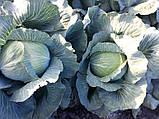 Семена капусты Лагрима (lagrima RZ) F1 125-140 дн., 1000 семян, фото 4