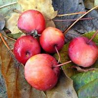 Райська червона яблуня