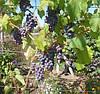 Саженцы винограда кишмыш сорт Юпитер