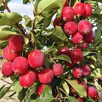 Райская яблоня колоновидная