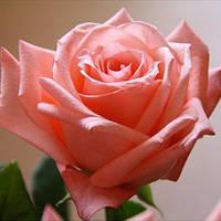 Роза Дольче Вита (Dolce Vita) чайно-гибридная